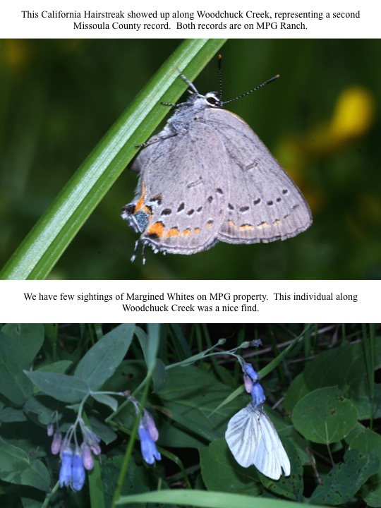 This California Hairstreak showed up along Woodchuck Creek, representing a second Missoula County record. Both records are on MPG Ranch.
